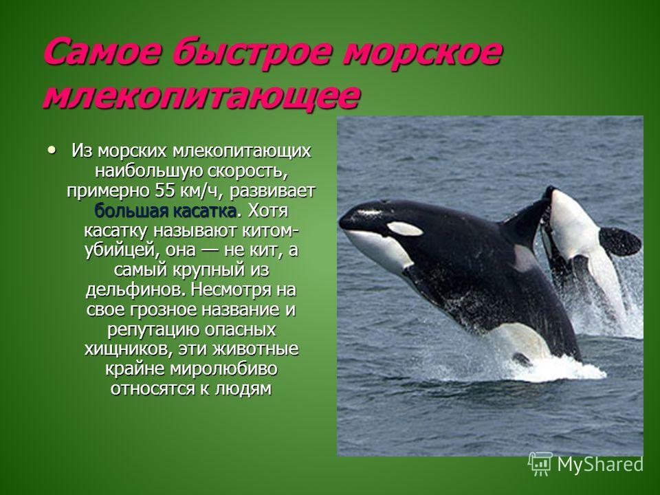 Самое быстрое морское млекопитающее Из морских млекопитающих наибольшую скорость, примерно 55 км/ч, развивает большая касатка. Хотя касатку называют китом- убийцей, она не кит, а самый крупный из дельфинов. Несмотря на свое грозное название и репутац