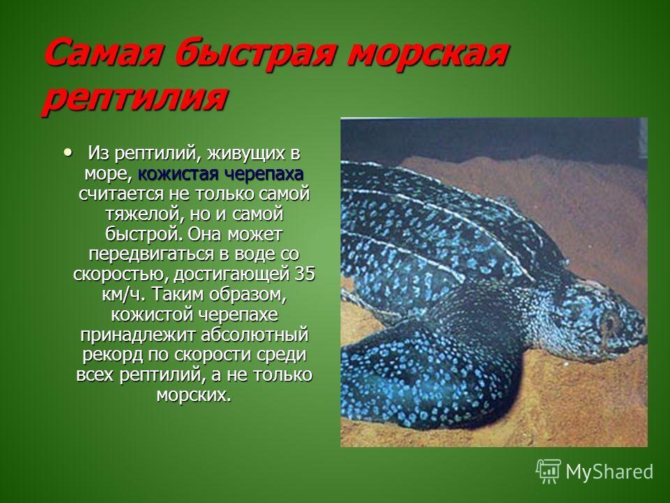 Самая быстрая морская рептилия Из рептилий, живущих в море, кожистая черепаха считается не только самой тяжелой, но и самой быстрой. Она может передвигаться в воде со скоростью, достигающей 35 км/ч. Таким образом, кожистой черепахе принадлежит абсолю