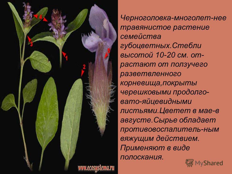 Шток-роза крупное, двулетнее, декоративное растение достиггающее 2м. высоты семейства мальвовых.Сырье содержит целительную слизь,дубильные вещества,альтеин и др.Чаи и отвары из цветков-эффективное отхаркивающее средство при заболеваниях дыхательных п