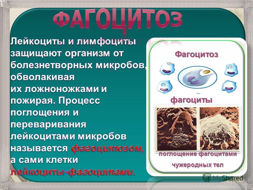 Фагоцитоз Фагоцитоз фагоциты поглощение фагоцитами чужеродных тел