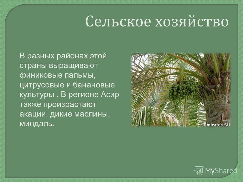 Сельское хозяйство В разных районах этой страны выращивают финиковые пальмы, цитрусовые и банановые культуры. В регионе Асир также произрастают акации, дикие маслины, миндаль.