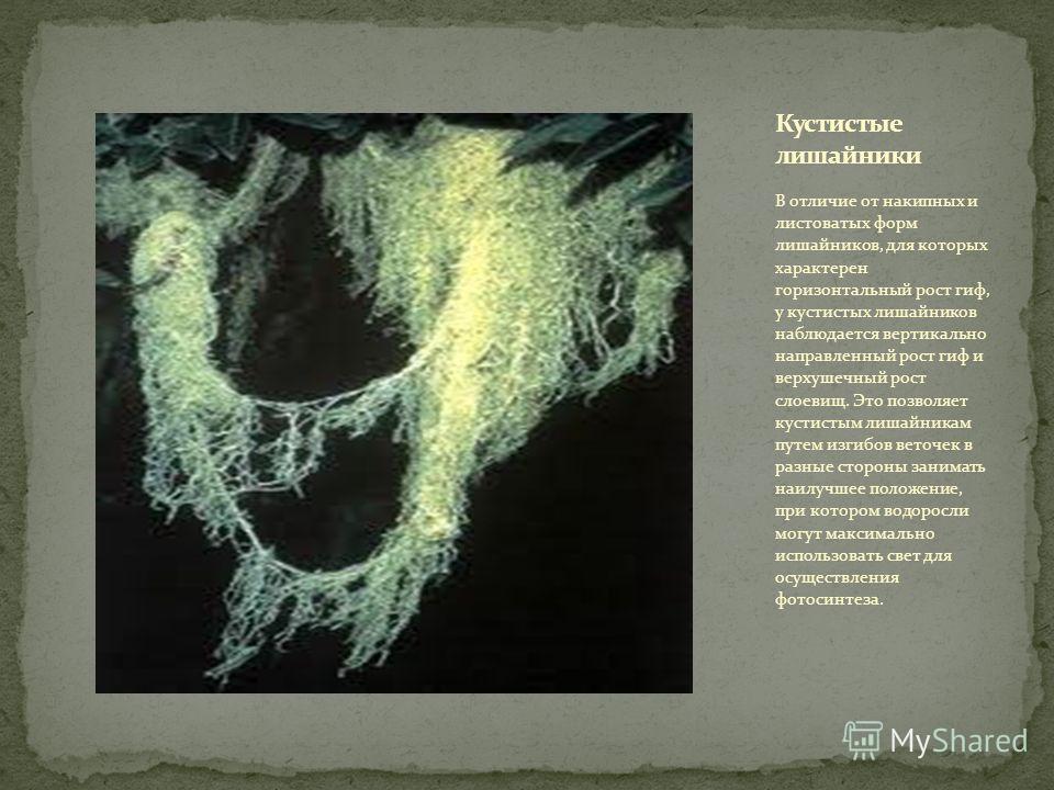 В отличие от накипных и листоватых форм лишайников, для которых характерен горизонтальный рост гиф, у кустистых лишайников наблюдается вертикально направленный рост гиф и верхушечный рост слоевищ. Это позволяет кустистым лишайникам путем изгибов вето