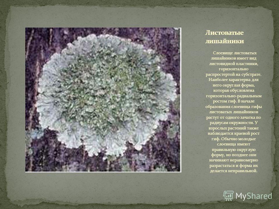 Слоевище листоватых лишайников имеет вид листовидной пластинки, горизонтально распростертой на субстрате. Наиболее характерна для него округлая форма, которая обусловлена горизонтально-радиальным ростом гиф. В начале образования слоевища гифы листова