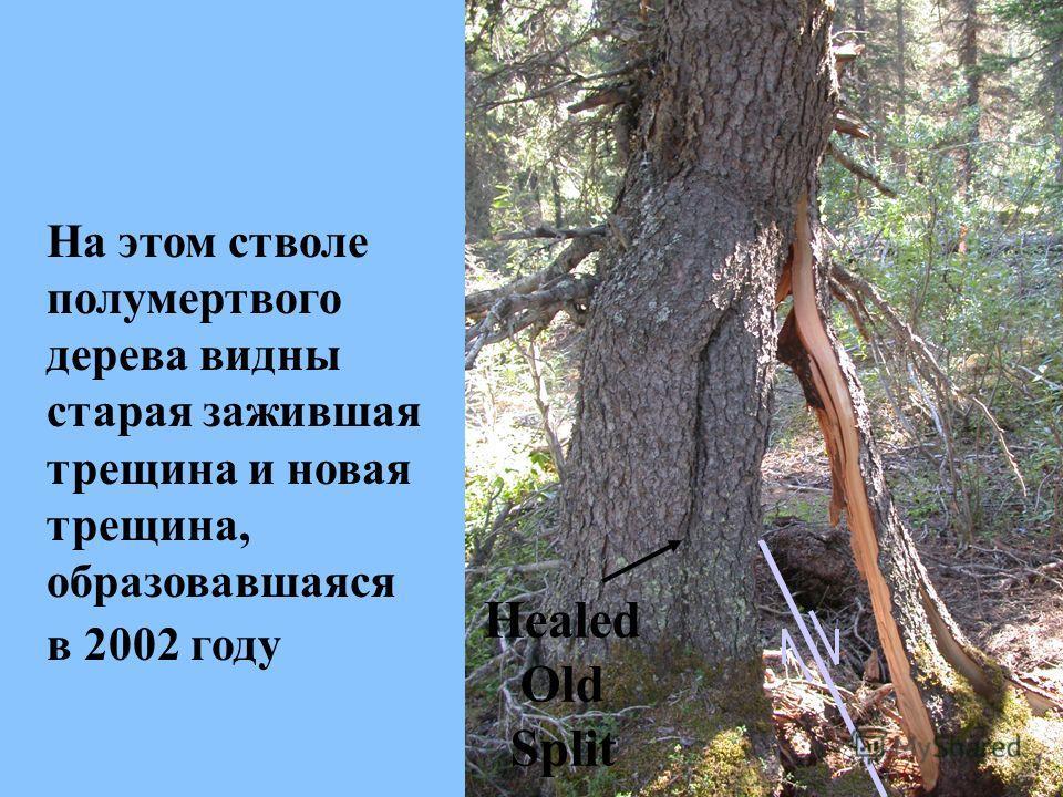 Healed Old Split На этом стволе полумертвого дерева видны старая зажившая трещина и новая трещина, образовавшаяся в 2002 году