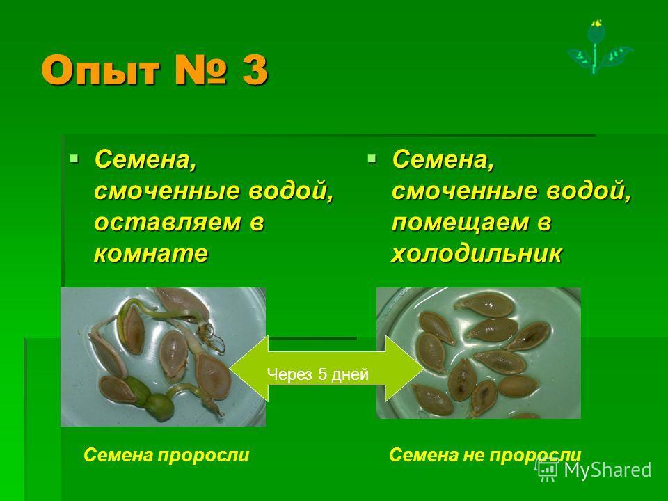 Опыт 3 Семена, смоченные водой, оставляем в комнате Семена, смоченные водой, оставляем в комнате Семена, смоченные водой, помещаем в холодильник Семена, смоченные водой, помещаем в холодильник Семена не пророслиСемена проросли Через 5 дней
