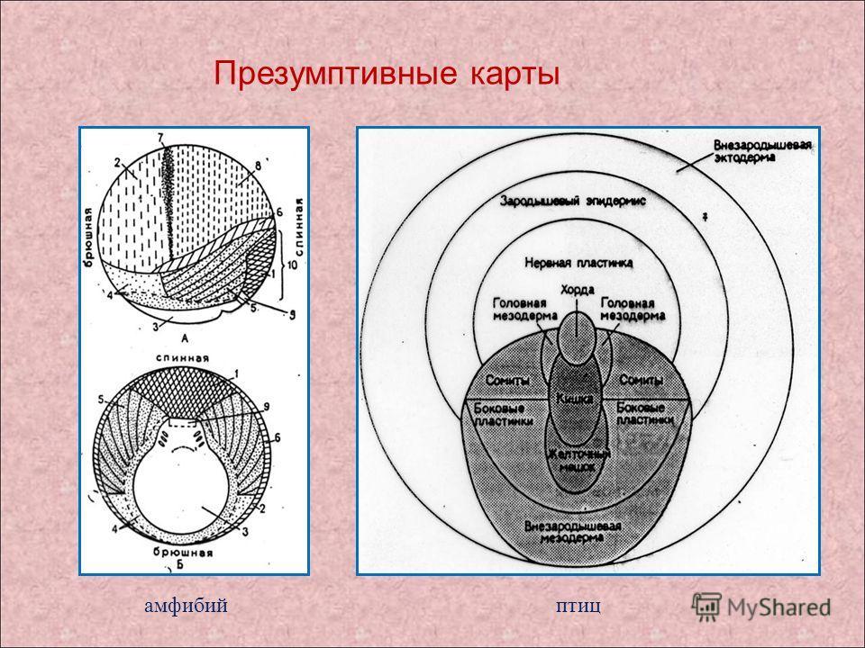 Презумптивные карты амфибийптиц