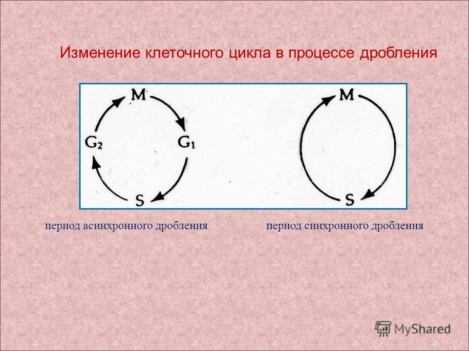 Изменение клеточного цикла в процессе дробления период асинхронного дробления период синхронного дробления