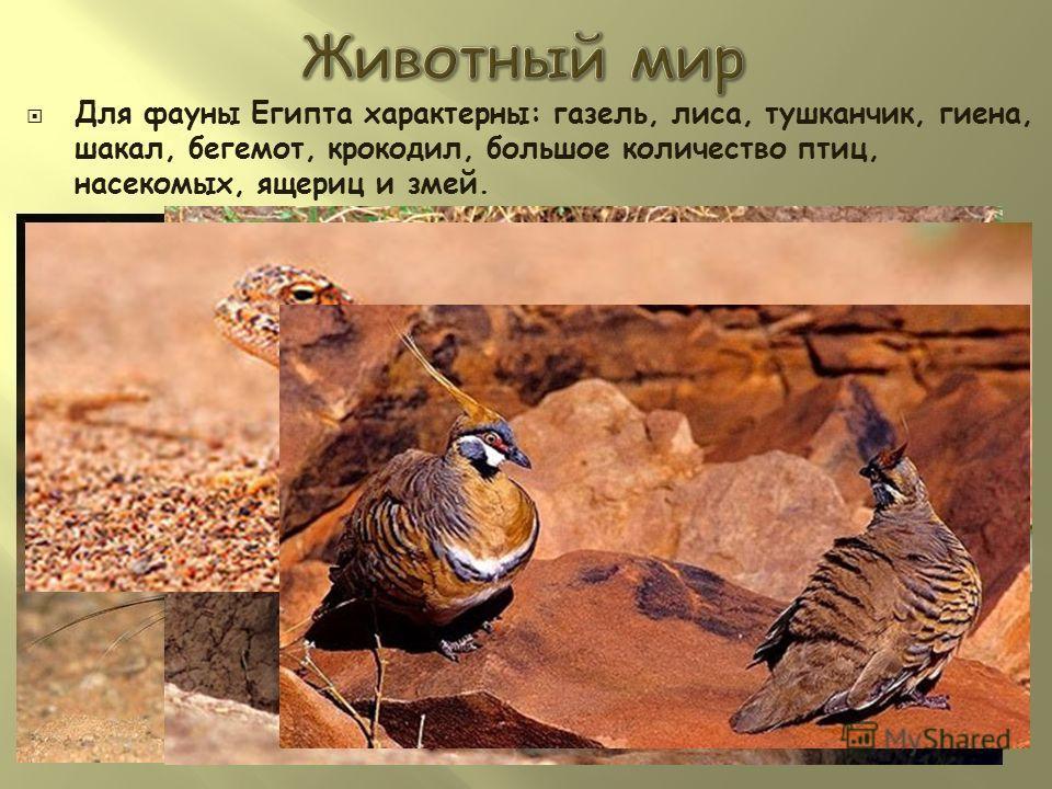 Для фауны Египта характерны: газель, лиса, тушканчик, гиена, шакал, бегемот, крокодил, большое количество птиц, насекомых, ящериц и змей.