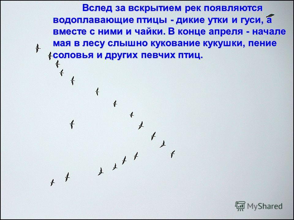 Вслед за вскрытием рек появляются водоплавающие птицы - дикие утки и гуси, а вместе с ними и чайки. В конце апреля - начале мая в лесу слышно кукование кукушки, пение соловья и других певчих птиц.