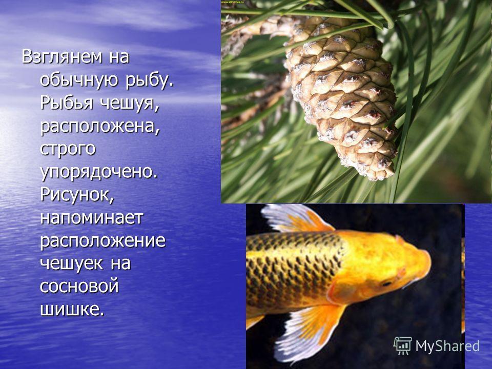 Взглянем на обычную рыбу. Рыбья чешуя, расположена, строго упорядочено. Рисунок, напоминает расположение чешуек на сосновой шишке.