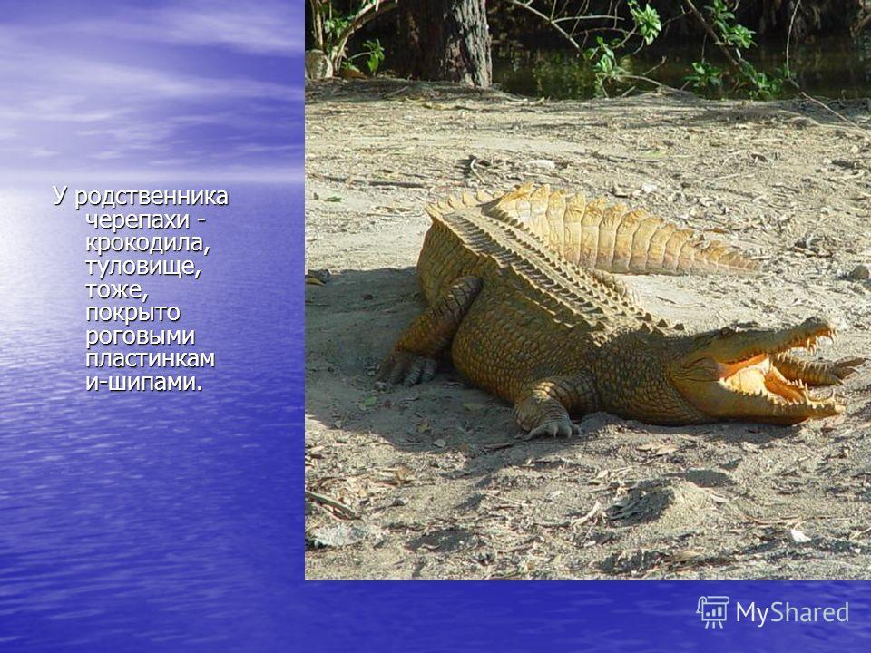 У родственника черепахи - крокодила, туловище, тоже, покрыто роговыми пластинкам и-шипами.