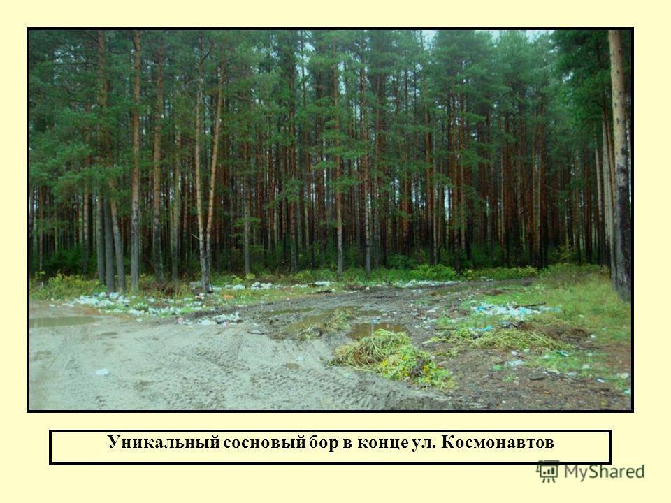 Уникальный сосновый бор в конце ул. Космонавтов