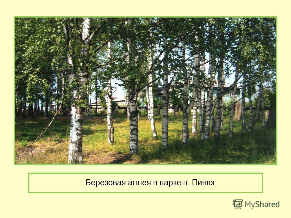Березовая аллея в парке п. Пинюг