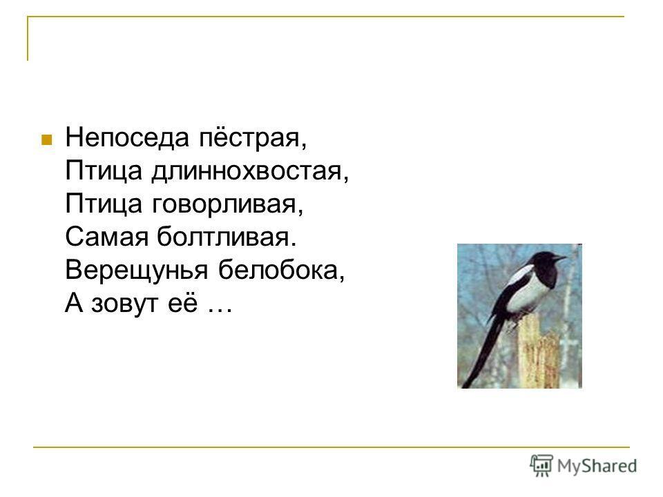 Непоседа пёстрая, Птица длиннохвостая, Птица говорливая, Самая болтливая. Верещунья белобока, А зовут её …