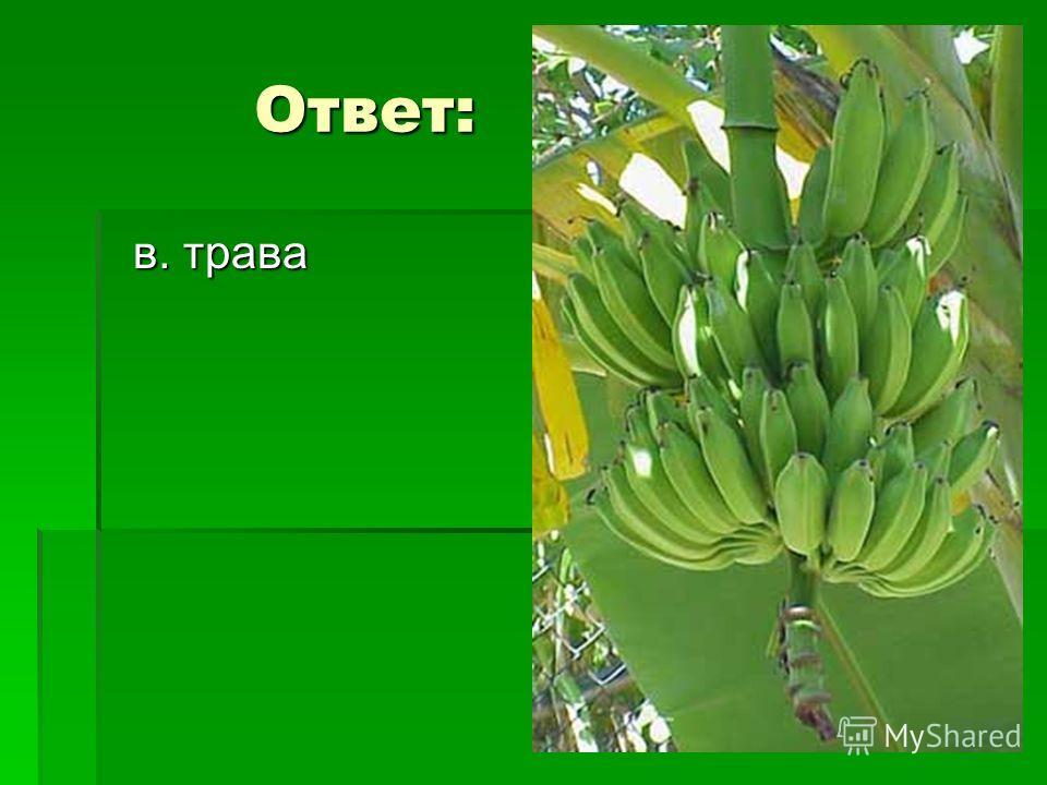 4 вопрос 4 вопрос Банан – это… ? А. Дерево Б. Кустарник В. Трава