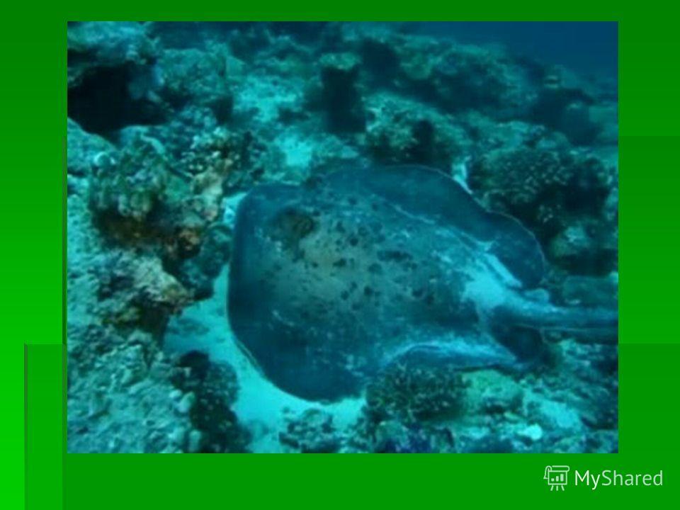 Вопрос 3 Эта рыба обитает в Мраморном и Средиземном морях и у берегов Индийского океана. Аристотель отмечал, что эта рыба «заставляет цепенеть животных, которых она хочет поймать, пересиливая их силой удара, живущего у нее в теле».В середине века рыц