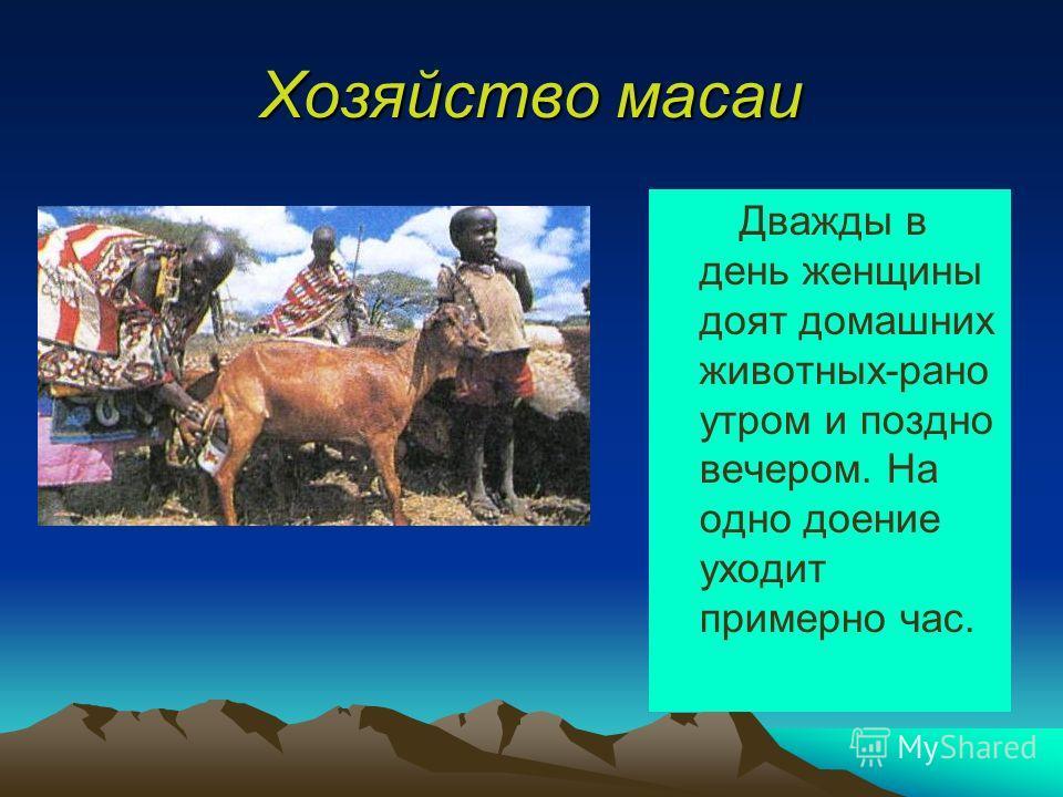 Хозяйство масаи Дважды в день женщины доят домашних животных-рано утром и поздно вечером. На одно доение уходит примерно час.
