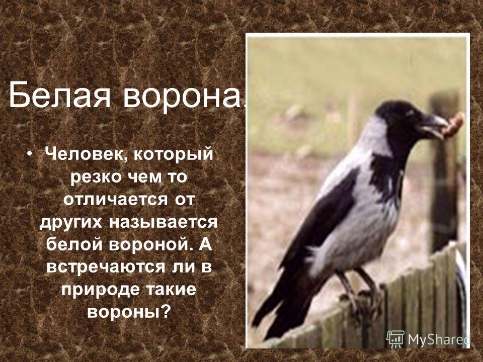 Белая ворона. Человек, который резко чем то отличается от других называется белой вороной. А встречаются ли в природе такие вороны?