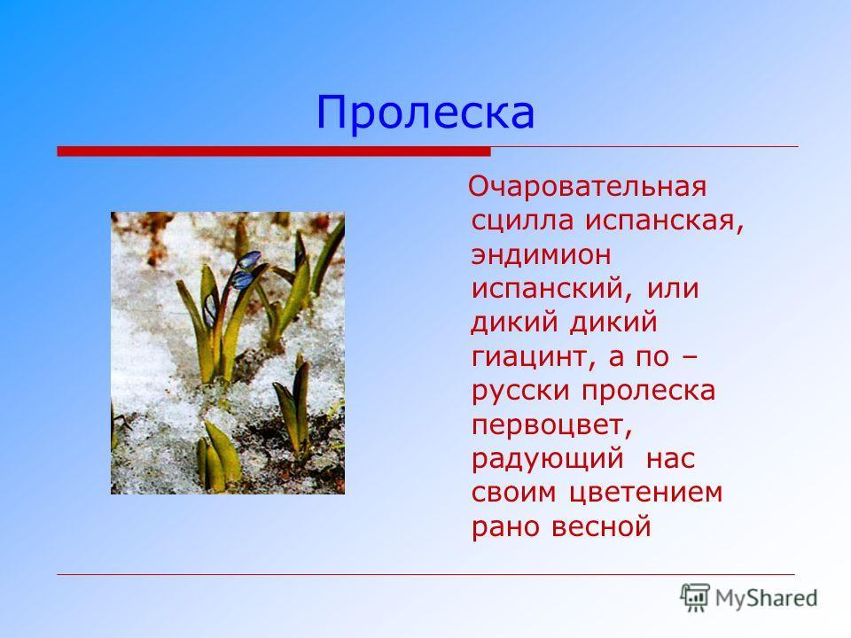 Пролеска Очаровательная сцилла испанская, эндимион испанский, или дикий дикий гиацинт, а по – русски пролеска первоцвет, радующий нас своим цветением рано весной