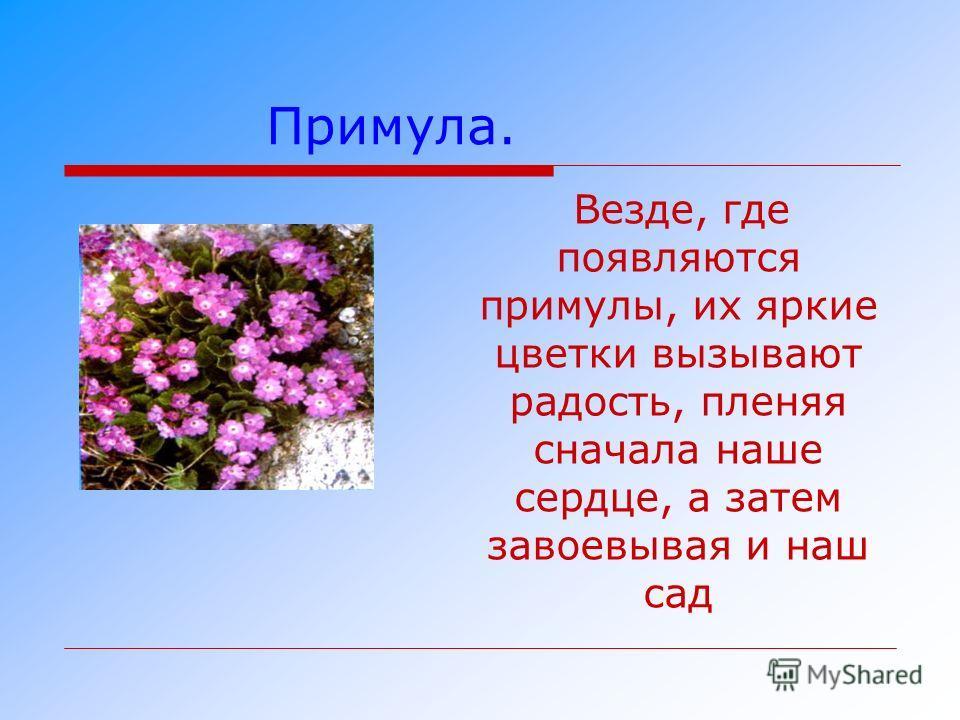Примула. Везде, где появляются примулы, их яркие цветки вызывают радость, пленяя сначала наше сердце, а затем завоевывая и наш сад