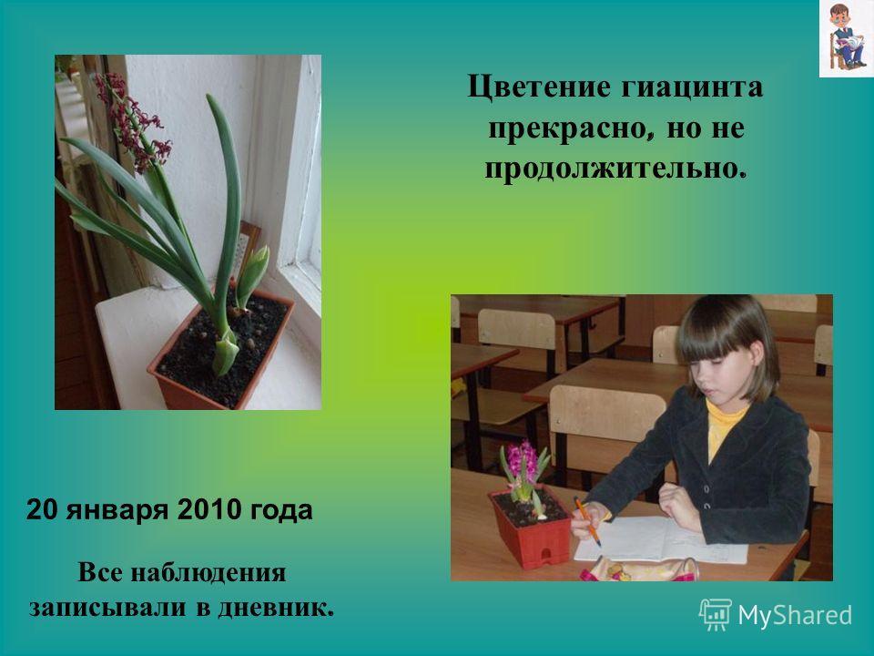 Цветение гиацинта прекрасно, но не продолжительно. Все наблюдения записывали в дневник. 20 января 2010 года