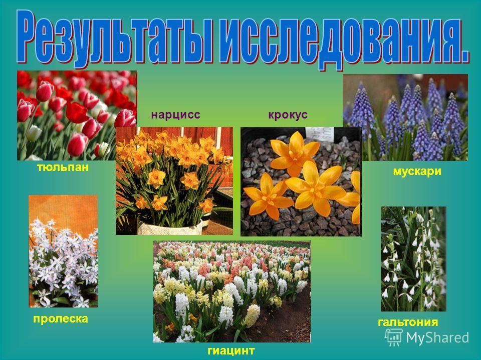 тюльпан нарцисс гиацинт крокус мускари пролеска гальтония