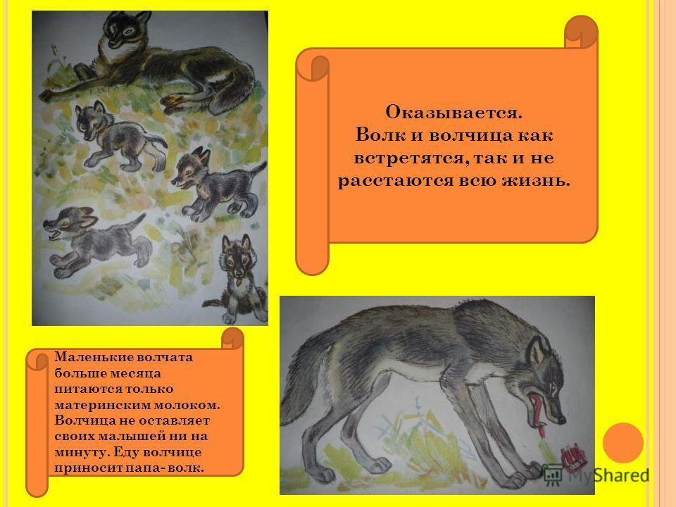 Оказывается. Волк и волчица как встретятся, так и не расстаются всю жизнь. Маленькие волчата больше месяца питаются только материнским молоком. Волчица не оставляет своих малышей ни на минуту. Еду волчице приносит папа- волк.