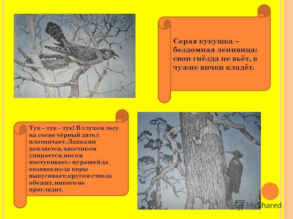 Серая кукушка – бездомная ленивица: свои гнёзда не вьёт, в чужие яички кладёт. Тук – тук – тук! В глухом лесу на сосне чёрный дятел плотничает. Лапками цепляется, хвостиком упирается, носом постукивает,- мурашей да козявок из-за коры выпугивает; круг