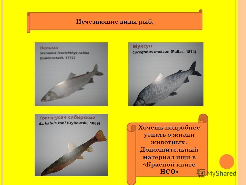Исчезающие виды рыб. Хочешь подробнее узнать о жизни животных. Дополнительный материал ищи в «Красной книге НСО»