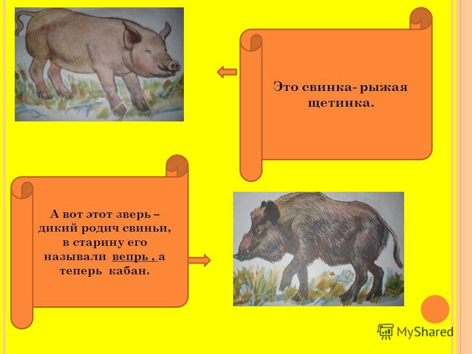 Это свинка- рыжая щетинка. А вот этот зверь – дикий родич свиньи, в старину его называли вепрь, а теперь кабан.