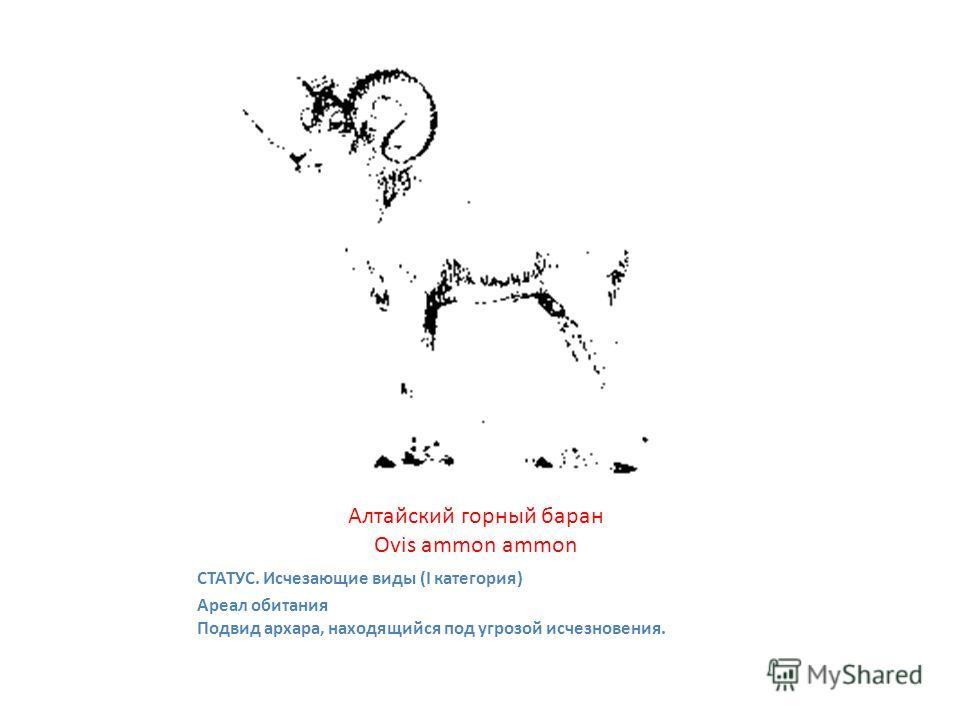 Алтайский горный баран Ovis ammon ammon СТАТУС. Исчезающие виды (I категория) Ареал обитания Подвид архара, находящийся под угрозой исчезновения.