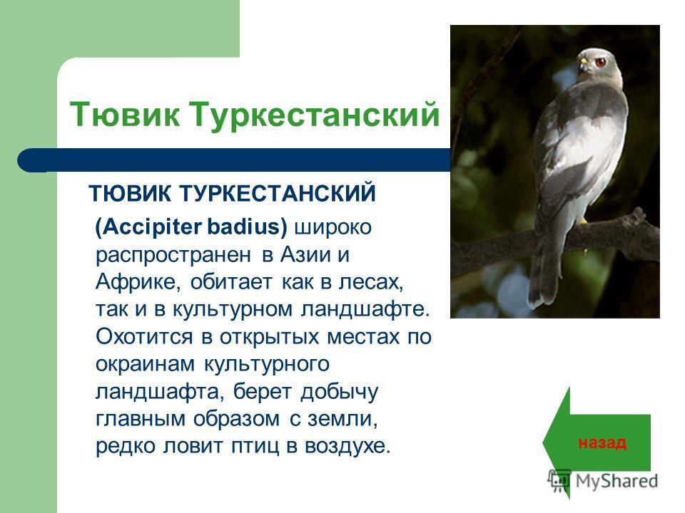Тювик Туркестанский ТЮВИК ТУРКЕСТАНСКИЙ (Accipiter badius) широко распространен в Азии и Африке, обитает как в лесах, так и в культурном ландшафте. Охотится в открытых местах по окраинам культурного ландшафта, берет добычу главным образом с земли, ре
