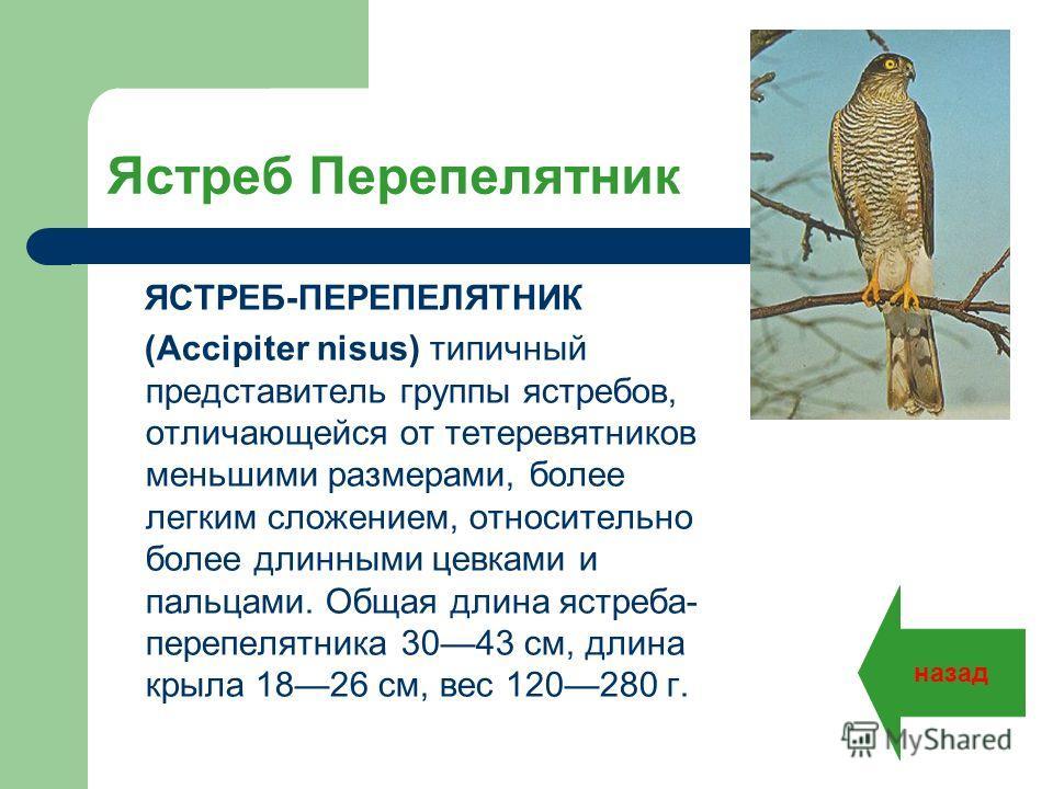 Ястреб Перепелятник ЯСТРЕБ-ПЕРЕПЕЛЯТНИК (Accipiter nisus) типичный представитель группы ястребов, отличающейся от тетеревятников меньшими размерами, более легким сложением, относительно более длинными цевками и пальцами. Общая длина ястреба- перепеля