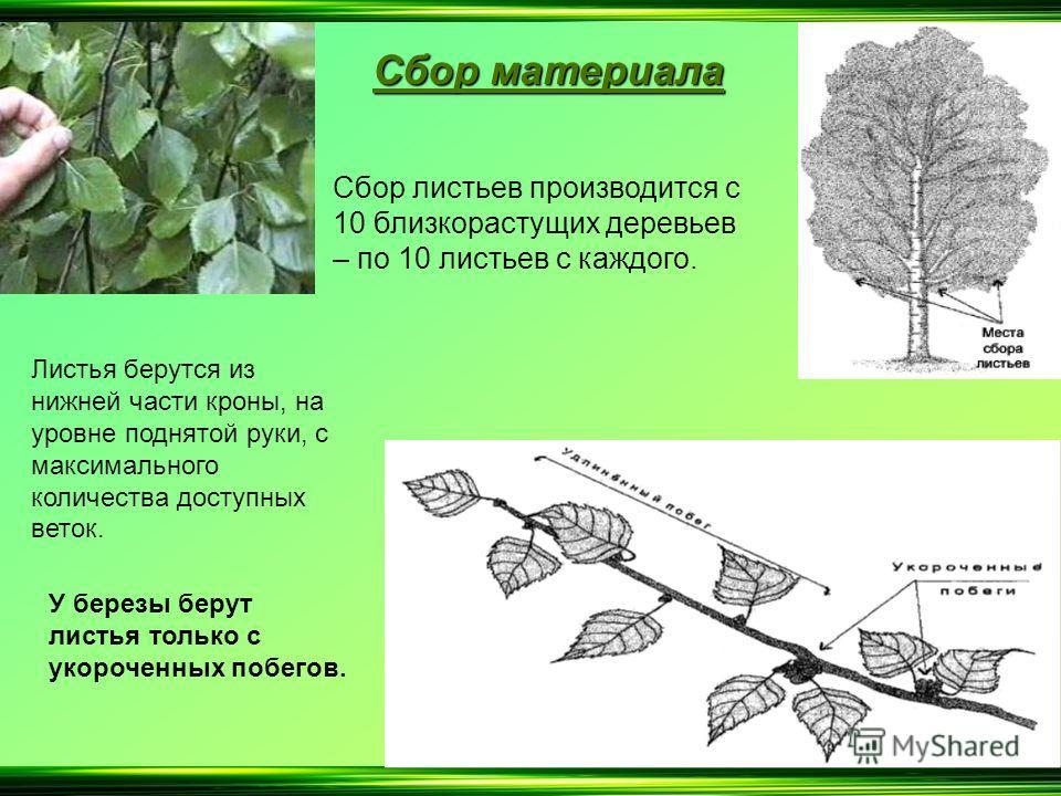 С бор материала Сбор листьев производится с 10 близкорастущих деревьев – по 10 листьев с каждого. Листья берутся из нижней части кроны, на уровне поднятой руки, с максимального количества доступных веток. У березы берут листья только с укороченных по