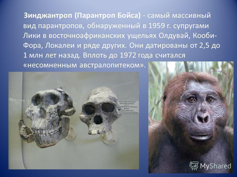 Зинджантроп (Парантроп Бойса) - самый массивный вид парантропов, обнаруженный в 1959 г. супругами Лики в восточноафриканских ущельях Олдувай, Кооби- Фора, Локалеи и ряде других. Они датированы от 2,5 до 1 млн лет назад. Вплоть до 1972 года считался «