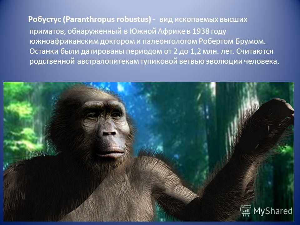 Робустус (Paranthropus robustus) - вид ископаемых высших приматов, обнаруженный в Южной Африке в 1938 году южноафриканским доктором и палеонтологом Робертом Брумом. Останки были датированы периодом от 2 до 1,2 млн. лет. Считаются родственной австрало