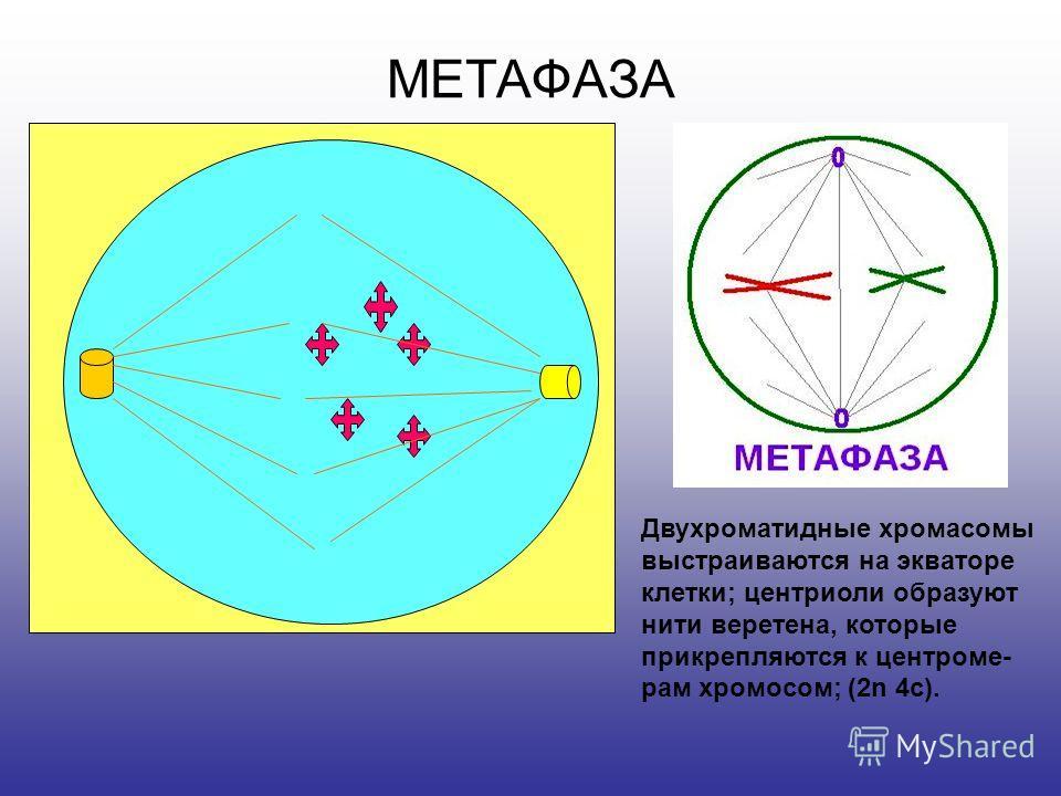 ПРОФАЗА Хроматин спирализуется в двухроматидные хромосомы; ядерная оболочка и ядрышко растворяются; центриоли расходятся к полюсам; (2n 4c).
