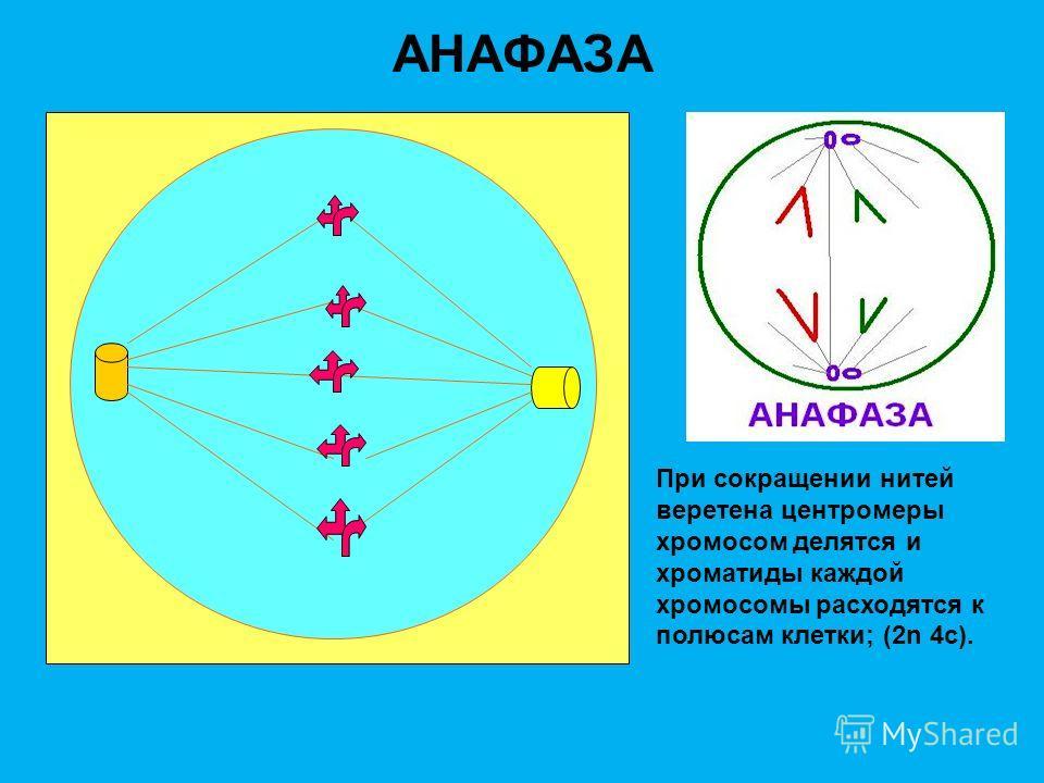 МЕТАФАЗА Двухроматидные хромасомы выстраиваются на экваторе клетки; центриоли образуют нити веретена, которые прикрепляются к центроме- рам хромосом; (2n 4c).