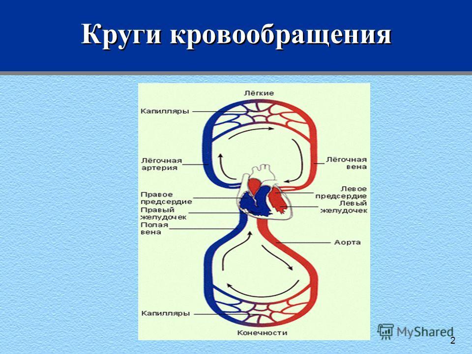Круги кровообращения 2