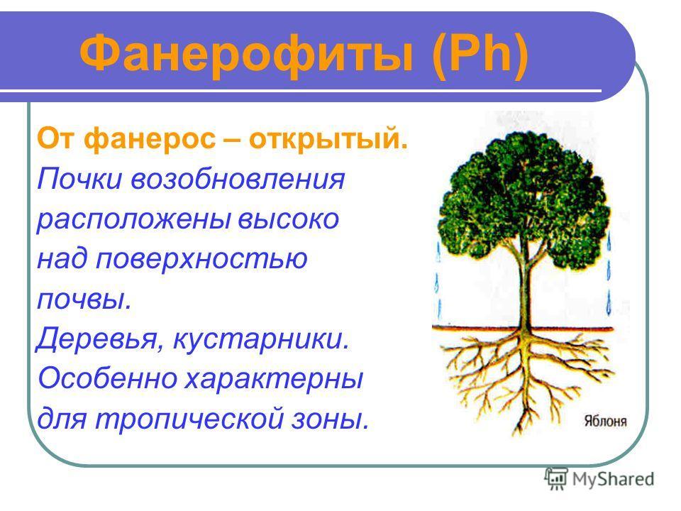 Фанерофиты (Ph) От фанерос – открытый. Почки возобновления расположены высоко над поверхностью почвы. Деревья, кустарники. Особенно характерны для тропической зоны.