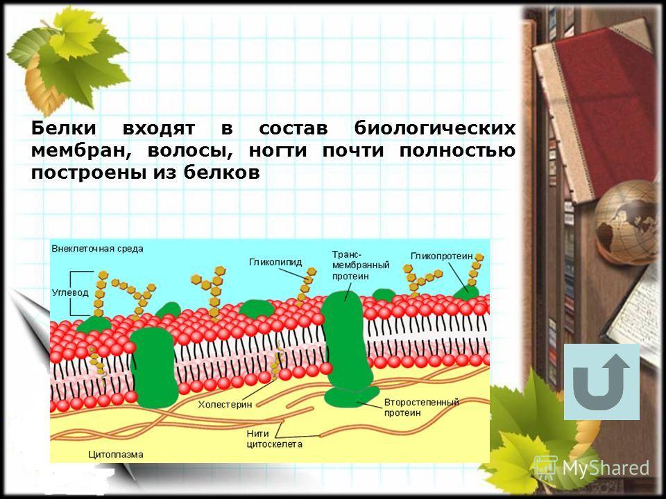 Белки входят в состав биологических мембран, волосы, ногти почти полностью построены из белков