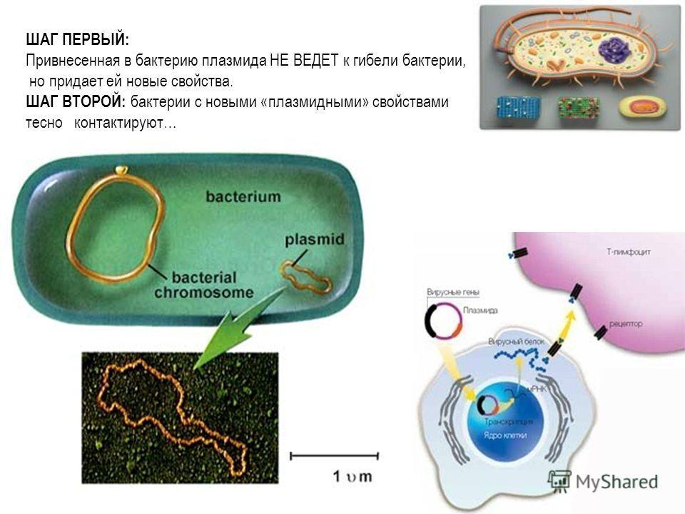 ШАГ ПЕРВЫЙ: Привнесенная в бактерию плазмида НЕ ВЕДЕТ к гибели бактерии, но придает ей новые свойства. ШАГ ВТОРОЙ: бактерии с новыми «плазмидными» свойствами тесно контактируют… с ЧЕМ?