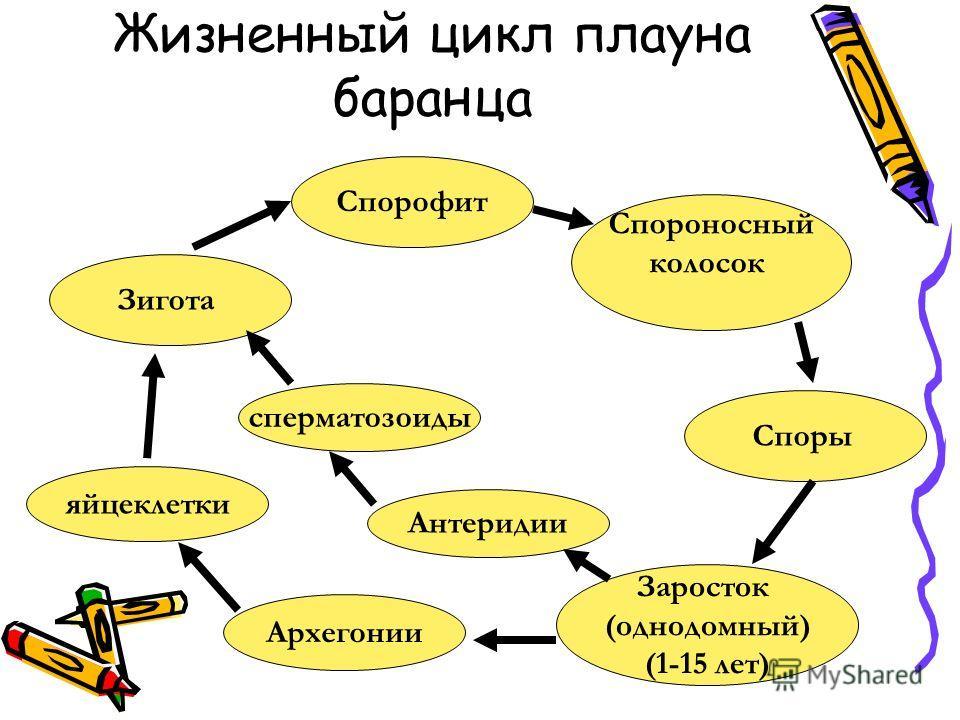 Жизненный цикл плауна баранца Спорофит Спороносный колосок Споры Заросток (однодомный) (1-15 лет) Антеридии Зигота Архегонии сперматозоиды яйцеклетки