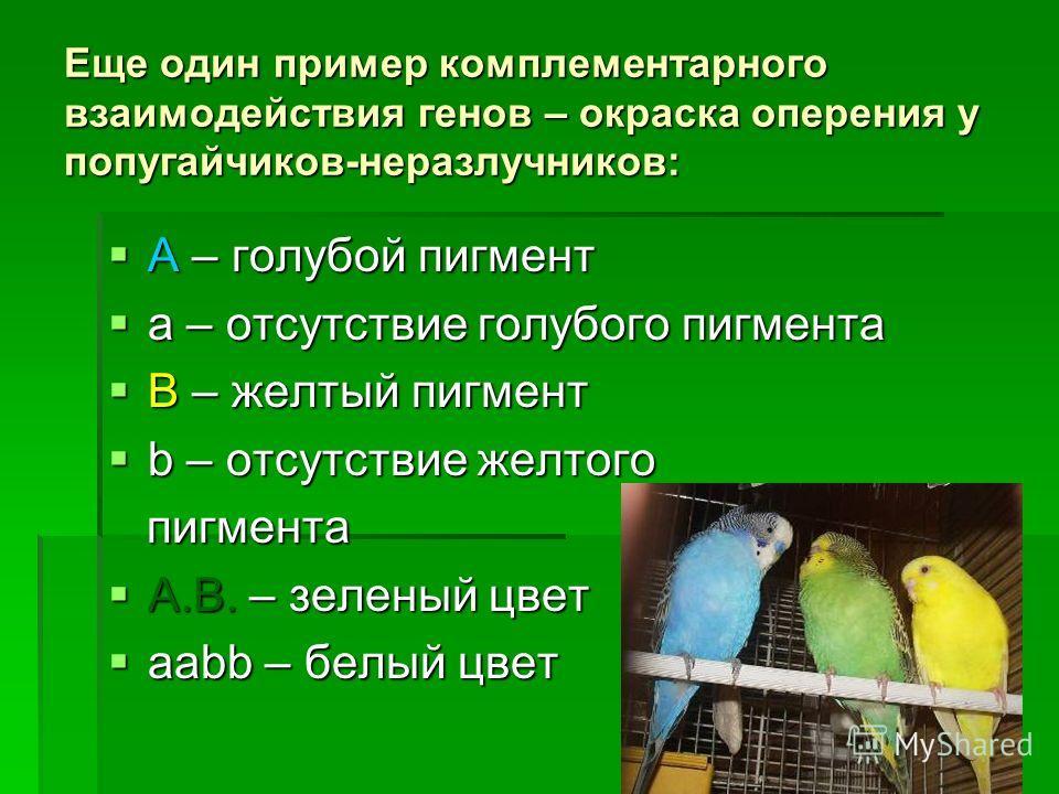 Еще один пример комплементарного взаимодействия генов – окраска оперения у попугайчиков-неразлучников: A – голубой пигмент A – голубой пигмент а – отсутствие голубого пигмента а – отсутствие голубого пигмента B – желтый пигмент B – желтый пигмент b –