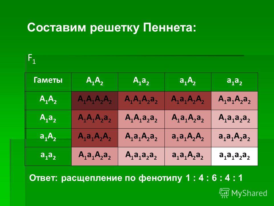 ГаметыA1A2A1A2 A1a2A1a2 a1A2a1A2 a1a2a1a2 A1A2A1A2 A1A1A2A2A1A1A2A2 A1A1A2a2A1A1A2a2 A1a1A2A2A1a1A2A2 A1a1A2a2A1a1A2a2 A1a2A1a2 A1A1A2a2A1A1A2a2 A1A1a2a2A1A1a2a2 A1a1A2a2A1a1A2a2 A1a1a2a2A1a1a2a2 a1A2a1A2 A1a1A2A2A1a1A2A2 A1a1A2a2A1a1A2a2 a1a1A2A2a1a