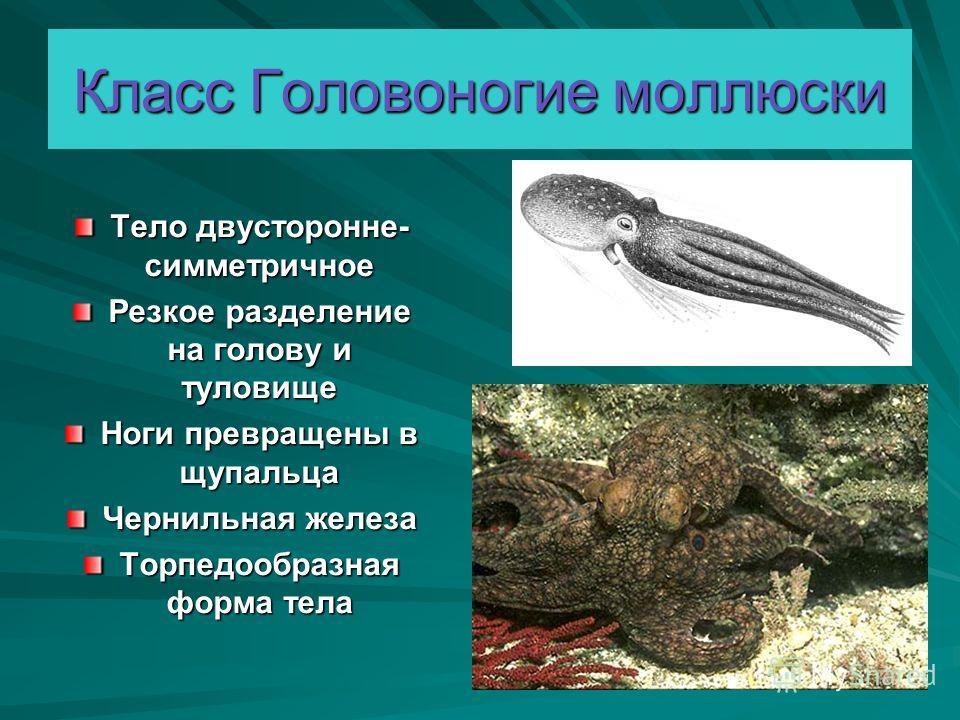 Класс Головоногие моллюски Тело двусторонне- симметричное Резкое разделение на голову и туловище Ноги превращены в щупальца Чернильная железа Торпедообразная форма тела