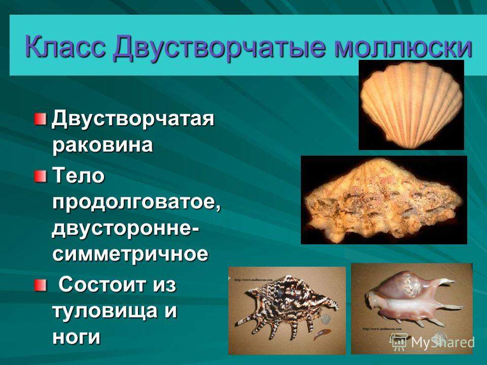 Класс Двустворчатые моллюски Двустворчатая раковина Тело продолговатое, двусторонне- симметричное Состоит из туловища и ноги