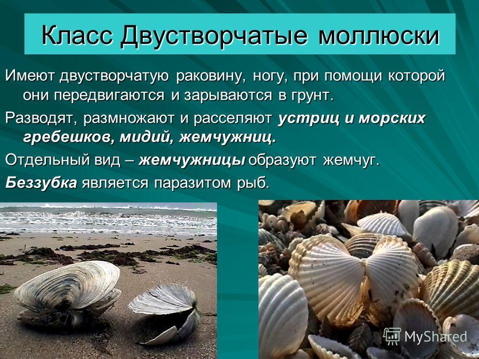 Класс Двустворчатые моллюски Имеют двустворчатую раковину, ногу, при помощи которой они передвигаются и зарываются в грунт. Разводят, размножают и расселяют устриц и морских гребешков, мидий, жемчужниц. Отдельный вид – жемчужницы образуют жемчуг. Без