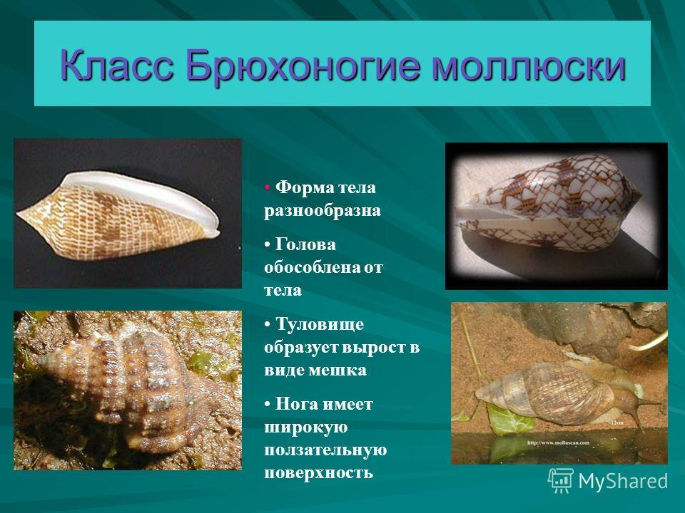 Класс Брюхоногие моллюски Форма тела разнообразна Голова обособлена от тела Туловище образует вырост в виде мешка Нога имеет широкую ползательную поверхность