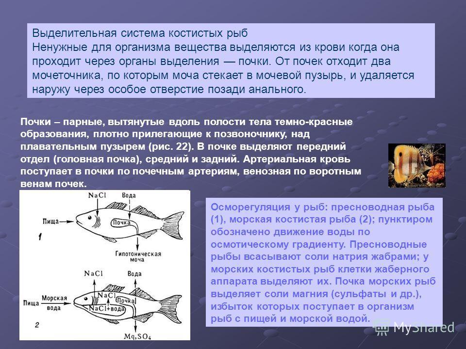 Осморегуляция у рыб: пресноводная рыба (1), морская костистая рыба (2); пунктиром обозначено движение воды по осмотическому градиенту. Пресноводные рыбы всасывают соли натрия жабрами; у морских костистых рыб клетки жаберного аппарата выделяют их. Поч